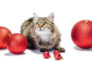 Cat with red baubles on a white background photo