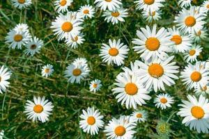 campo de margaritas blancas foto