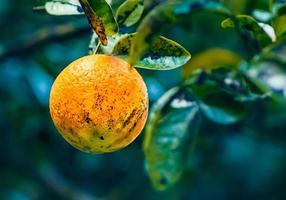 Close-up of a mandarin fruit photo