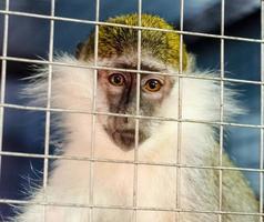 mono en una jaula foto