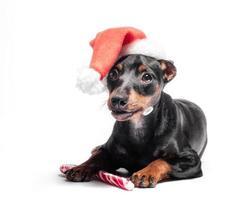 Cachorro de pinscher miniatura en un sombrero rojo de navidad con un bastón de caramelo foto