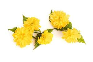 Kerria Japonica flower isolated on white background photo