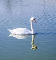Swan reflection in the water photo