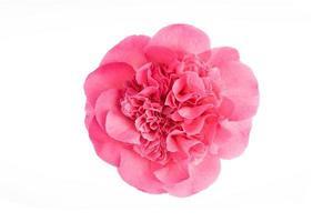 Flor de camelia rosa completamente florecida aislado sobre fondo blanco. foto