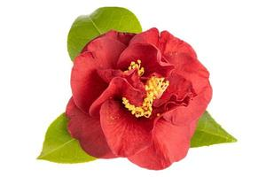 Blossomed Red camellia flower with leaves yellow stamen and pistils isolated on white background photo