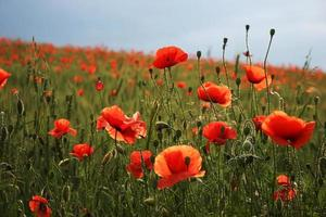 Spectacular vivid bloom close up of Poppies in a Poppy field. Hello spring, spring landscape, rural background, copy space. Flower poppy flowering on background poppies flowers. Nature. photo