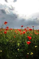Spectacular vivid bloom close up of Poppies in a Poppy field. Hello spring, spring landscape, rural background, copy space. Flower poppy flowering on background poppies flowers. Nature.
