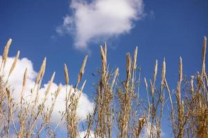 Dry grass on blue sky background. Copy space. Selective focus.