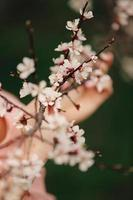 Spring cherry blossoms, sakura pink flowers photo