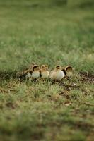 Four small ducks on the grass. Young duck baby mallard chick family, four newborn animals group outdoors background photo