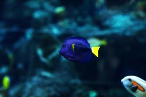 Yellowtail damselfish, Chrysiptera parasema. Popular saltwater aquarium fish. photo