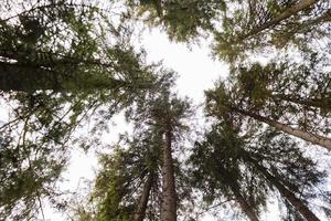 Bottom view of tall old trees in an autumn pine forest. Carpathian mountains, Ukraine. photo