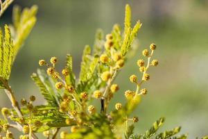 Mimosa tree in a field