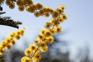 Mimosa tree in a field photo