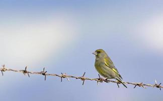 European Greenfinch - Chloris chloris, Greece