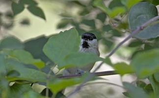 Marsh Tit - Poecile palustris, Greece photo