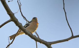 Chaffinch - Fringilla coelebs, Greece photo