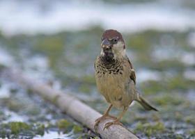 Italian Sparrow - Passer italiae, Crete photo