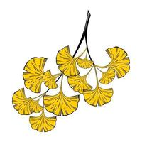 Isolated on a white background, a sprig of ginkgo biloba with yellow leaves vector