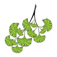 Isolated on a white background, a sprig of ginkgo biloba with green leaves vector