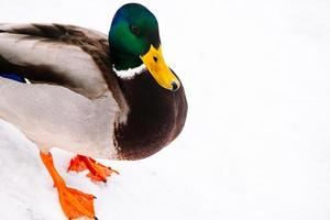 Male mallard duck on snow photo