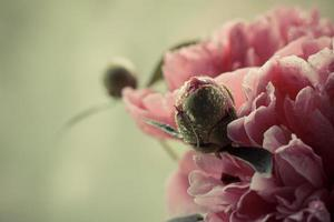 Delicate pink peony and bud