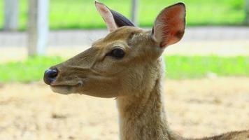 cervo em close-up em pastagens naturais no verão