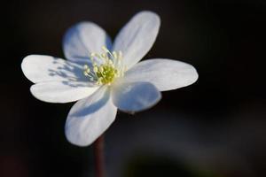 White flower on a black background photo