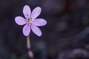 Purple flower on a dark background photo