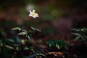 Single white flower in the woods photo