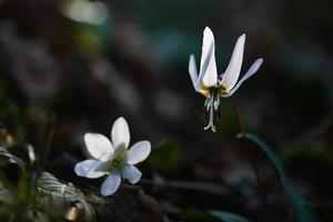 Two white flowers photo