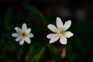 Two white flowers on a dark background photo