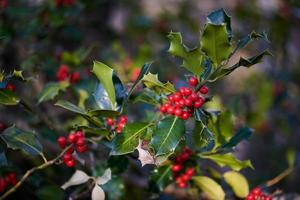 Holly berries in spring photo