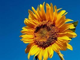 Sunflower against a blue sky photo