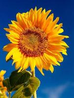 Sunflower against the sky photo