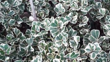 folhas verdes do figo do visco ou da planta da borracha do visco
