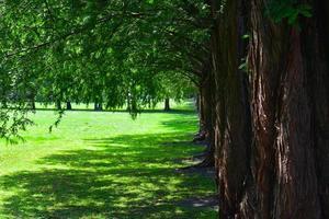 Row of larch trees photo