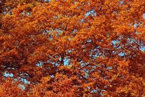 Autumn tree foliage against a blue sky photo