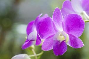 Purple orchid flowers photo