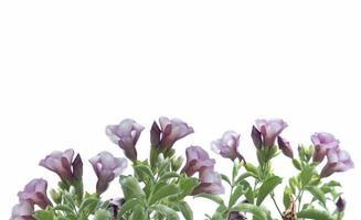 Grupo de flores de color púrpura sobre un fondo blanco. foto
