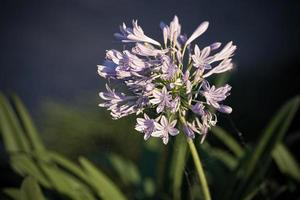 Close-up of an African lily, or agapanthus africanus, with a blurred background photo