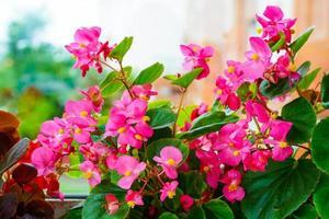 begonia rosa flores en el alféizar de una ventana foto