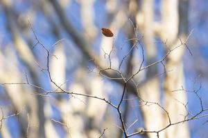 Thin bare branches and a single leaf with blurred trees in the background
