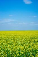 Rapeseed field with cloudy blue sky in Crimea photo