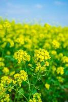 Close-up of rapeseed plant in a field with cloudy blue sky in Crimea