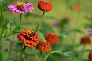 Bee among colorful zinnia flowers photo