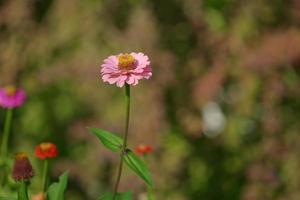 Colorful zinnia flowers photo