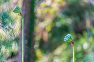 Lotus seed heads with blurred garden background