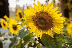 Sunflower in a field photo