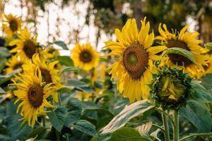 Field of sunflowers photo